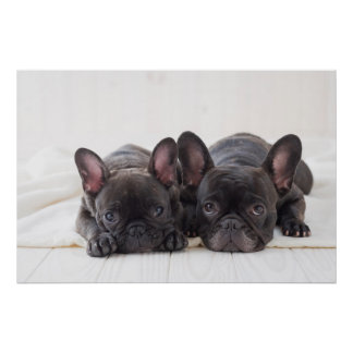 French Bulldogs Snuggling On A Blanket Poster