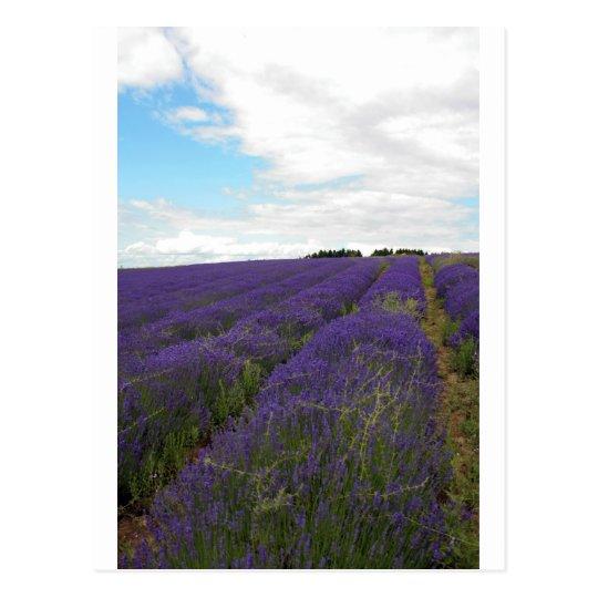 french lavender fields postcard