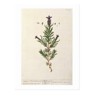 French Lavender, plate 241 from 'A Curious Herbal' Postcard
