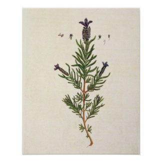 French Lavender, plate 241 from 'A Curious Herbal' Poster