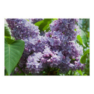 French Lilacs Poster
