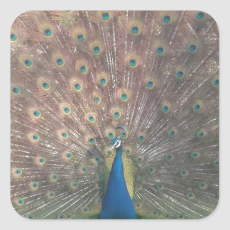 French Peacock Square Sticker