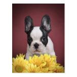 Frenchie - French bulldog puppy Post Card