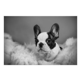 Frenchie - French bulldog puppy Posters