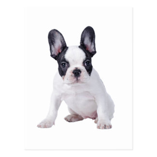 Frenchie - perrito del dogo francés tarjeta postal