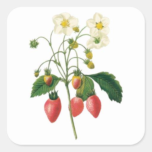 Fresas de la comida de las bayas de la fruta del pegatina cuadrada