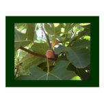 Fresh Figs Postcards