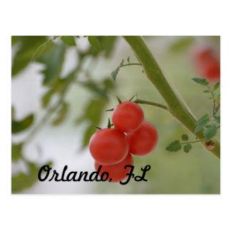 Fresh Florida Tomatos Postcard