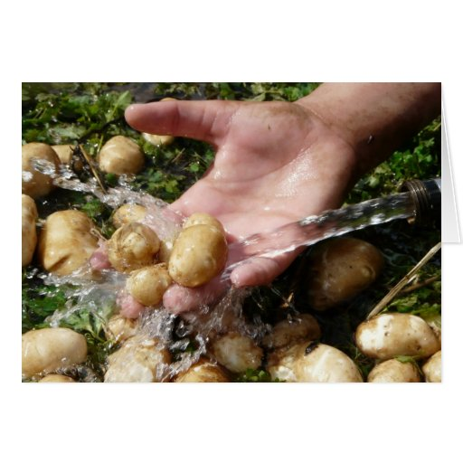 Fresh Garden Potatoes Getting Washed Greeting Card
