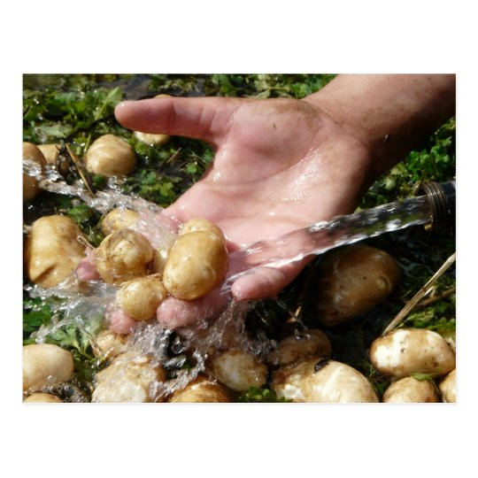 Fresh Garden Potatoes Getting Washed Postcard