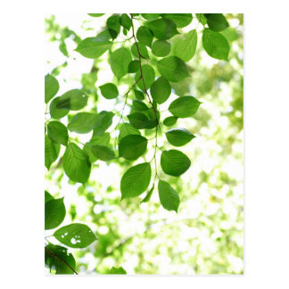 FRESH green leaves Postcard