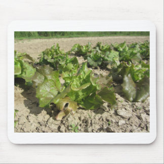 Fresh lettuce growing in the field mouse pad