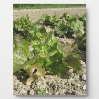 Fresh lettuce growing in the field plaque