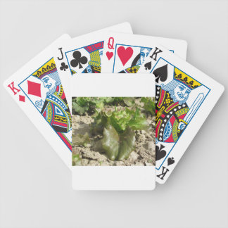 Fresh lettuce growing in the field  Tuscany, Italy Bicycle Playing Cards