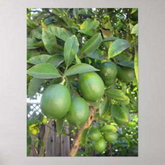 Fresh Limes Poster