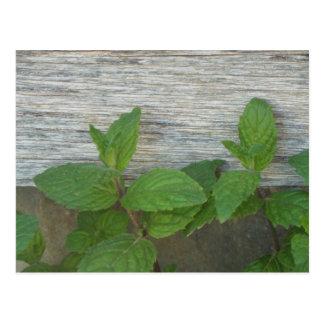 fresh mint sprigs postcard