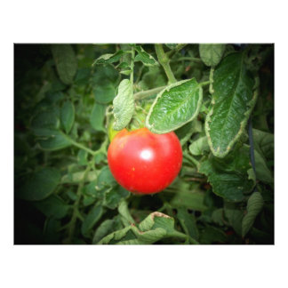 thesis about tomato