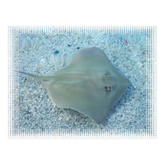 Fresh Water Stingray Postcard