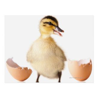Freshly hatched chick beside broken egg shell postcard