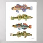 Freshwater Darters Art Poster