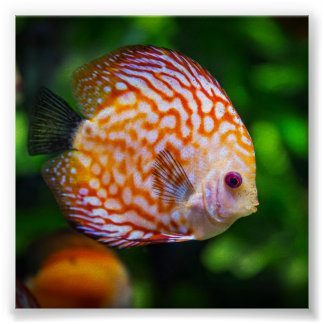Freshwater discus fish poster