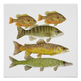 Freshwater Fish Art Poster Posters