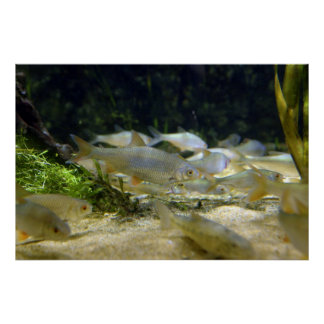 Freshwater Fish Poster