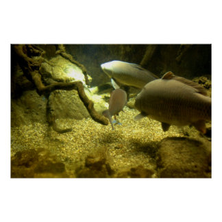 Freshwater Perch Fish Poster