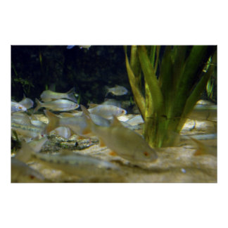 Freshwater Silver Fish Poster