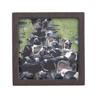 Fresian Dairy Cows, Awaiting Milking, Co Laois, Jewelry Box