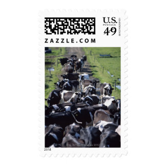 Fresian Dairy Cows, Awaiting Milking, Co Laois, Stamps