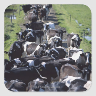 Fresian Dairy Cows, Awaiting Milking, Co Laois, Square Sticker