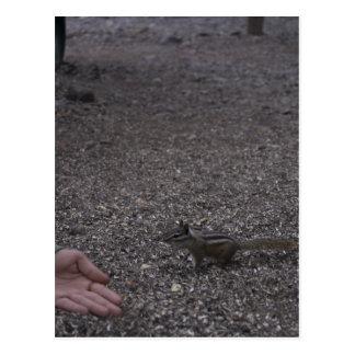 friendly chipmunk postcard