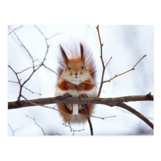Friendly Red Squirrel Postcard