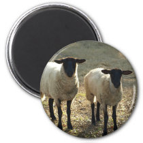 Friendly Suffolk Sheep Barnyard Pasture Late Sun Magnet