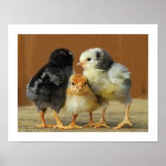 Friends Stick Together - Huddling Little Chicks Poster