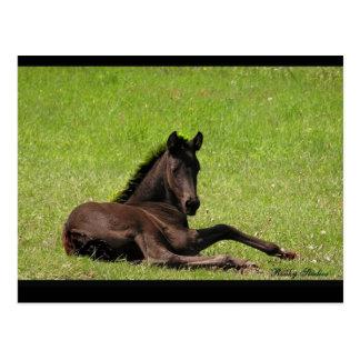Friesian Foal Postcard