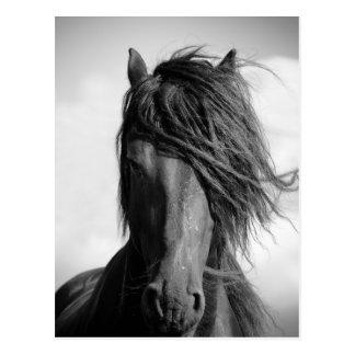 Friesian stallion in the wind. postcard