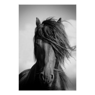 Friesian stallion in the wind. print