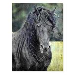 Friesian Stallion Post Card