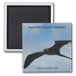 Frigate Bird (Fragata), Galapagos Islands 3 2 Inch Square Magnet