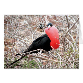 Frigate Bird (Fragata) in Mating Display Galapagos Card