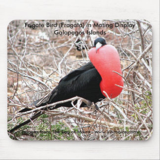 Frigate Bird (Fragata) in Mating Display Galapagos Mouse Pad