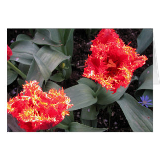 Frilled edge fire Tulips Card