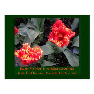 Frilled edge fire Tulips Postcard