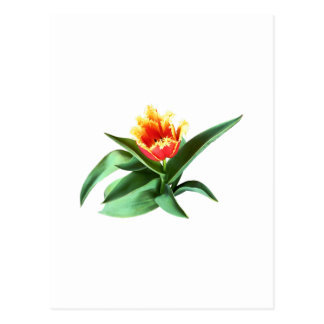 Frilly Orange Tulip Postcard