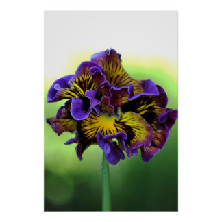 Frilly Pansy Flower Print