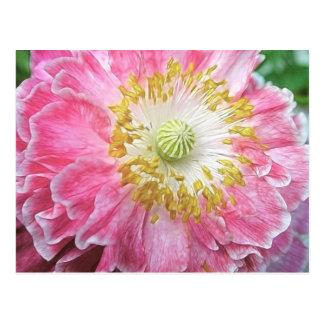 Frilly Pink Poppy Postcard