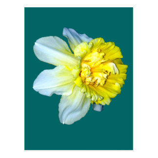 Frilly White and Yellow Daffodil Postcard