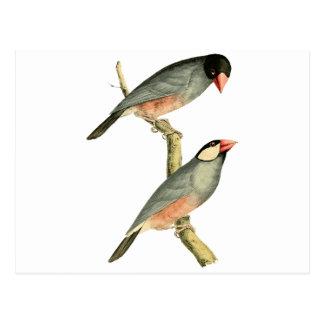 Fringilla oryzivora birds postcard